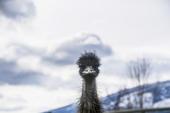 Nc Elusive Emu
